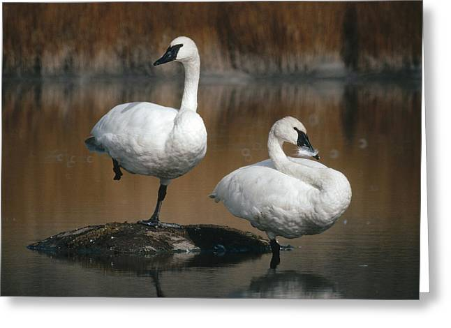 Swans... Greeting Cards - Trumpeter Swans Yellowstone Np Wyoming Greeting Card by Michael Quinton
