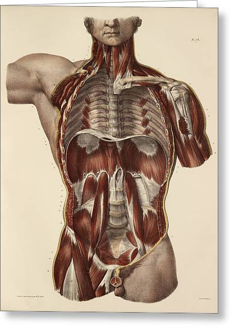 Collar Greeting Cards - Trunk muscle anatomy, 1831 artwork Greeting Card by Science Photo Library