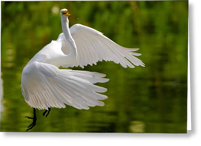 Wetland Greeting Cards - Trying to Take Off Greeting Card by Andres Leon