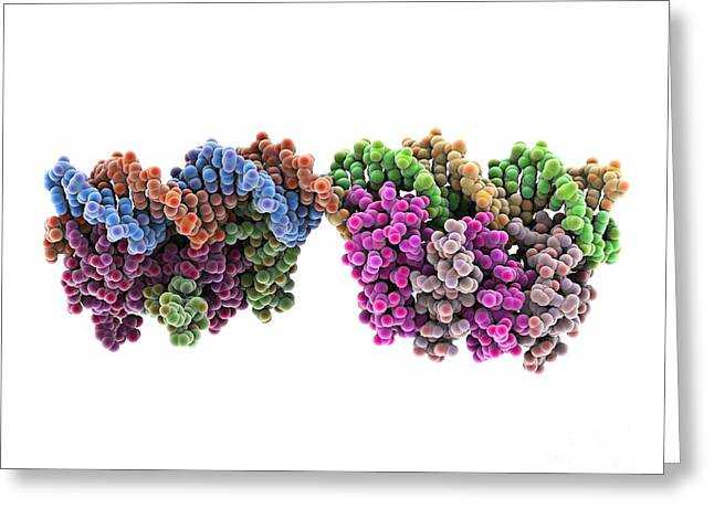 Repression Greeting Cards - Tryptophan Repressor Bound To Dna Greeting Card by Laguna Design