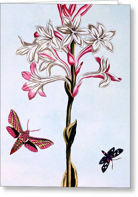 Southern France Greeting Cards - Tuberose Greeting Card by Pierre Joseph Buchoz