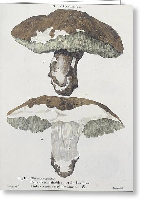 Fungi Greeting Cards - Tubiporus Esculentus Greeting Card by De Lussigny