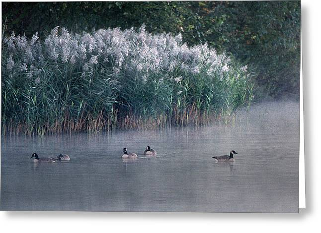 Geese Greeting Cards - Tucked Away Greeting Card by Skip Willits