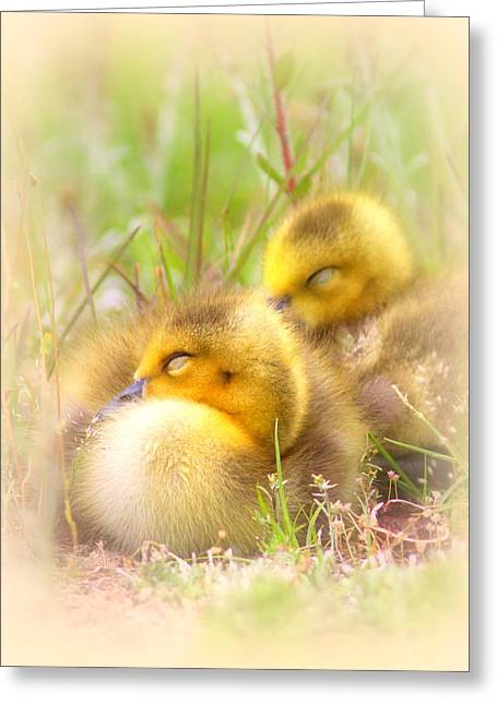 Travis Truelove Photography Greeting Cards - Tuckered Out - Goose - Bird - Babies Greeting Card by Travis Truelove