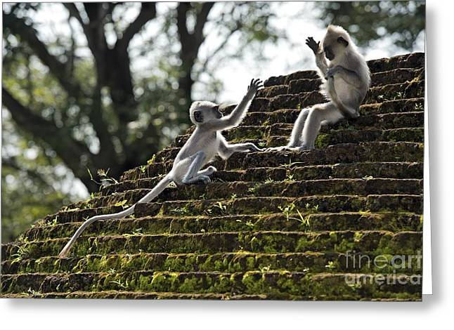 Stepping Stones Greeting Cards - Tufted Grey Langurs Greeting Card by Tony Camacho
