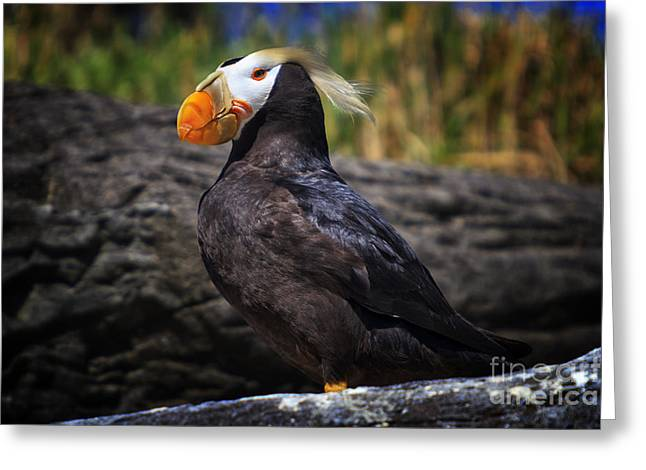 Seabirds Photographs Greeting Cards - Tufted Puffin Greeting Card by Mark Kiver