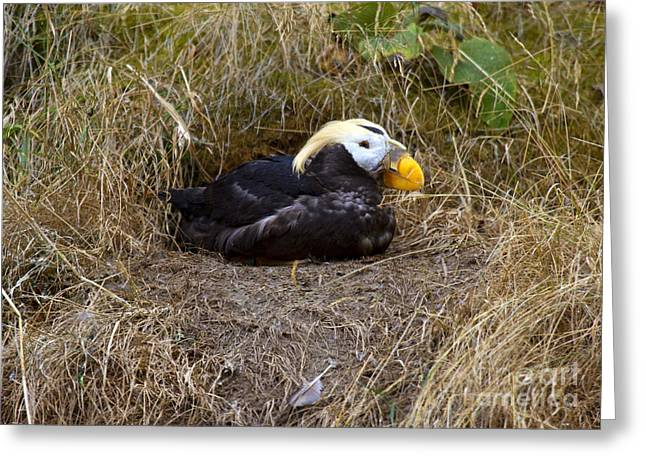 Nesting Greeting Cards - Tufted Puffin Greeting Card by Mike  Dawson