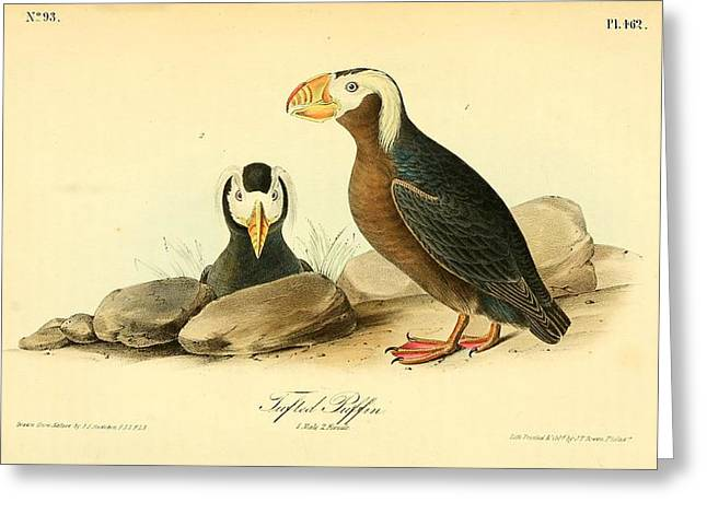 Tufted Puffins Greeting Card by John James Audubon