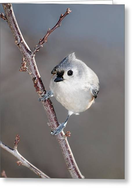 Tufted Titmouse Greeting Cards - Tufted Titmouse 3 Greeting Card by Lara Ellis