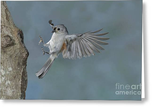 Tufted Titmouse Greeting Card by Anthony Mercieca