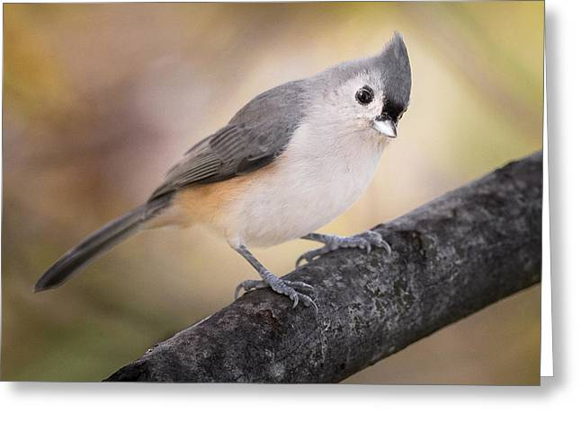 Tufted Titmouse Greeting Card by Bill Wakeley