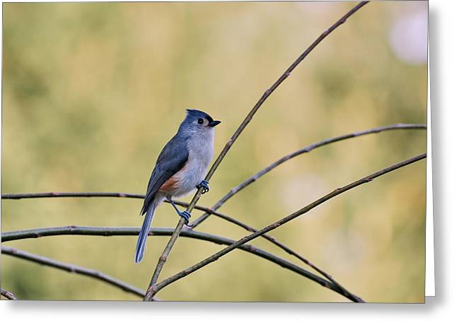 Tufted Titmouse Greeting Card by Francie Davis