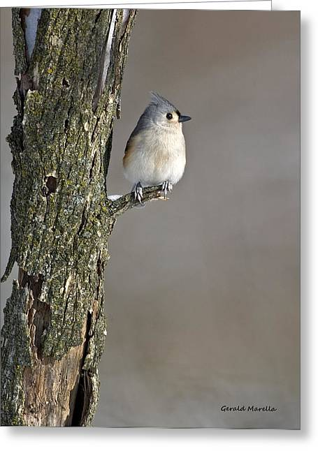 Winter Migrants Greeting Cards - Tufted Titmouse Greeting Card by Gerald Marella