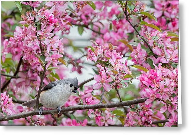 Birds With Flowers Greeting Cards - Tufted Titmouse In A pear Tree Square Greeting Card by Bill  Wakeley