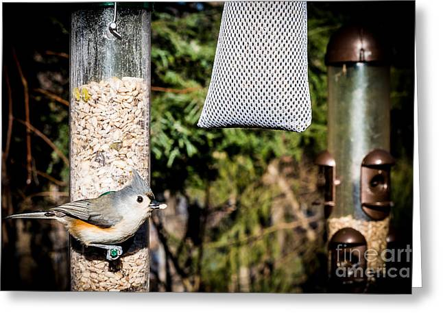 Tufted Titmouse Greeting Cards - Tufted Titmouse Greeting Card by Jim DeLillo