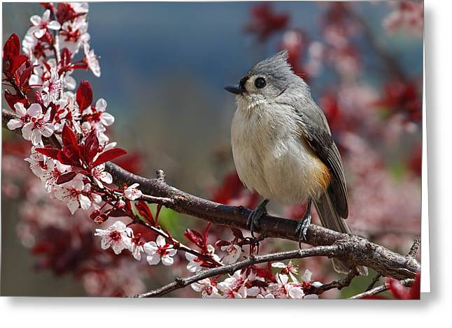 Birds With Flowers Greeting Cards - Tufted Titmouse On Ornamental Plum Blossoms Greeting Card by Lara Ellis