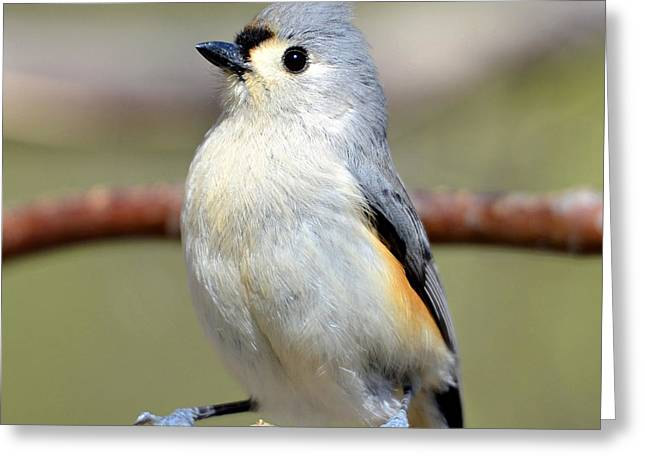 Tufted Titmouse Greeting Card by Susan Leggett