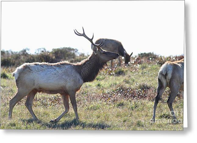 Tule Elks Greeting Cards - Tules Elks of Tomales Bay California - 7D21199 Greeting Card by Wingsdomain Art and Photography