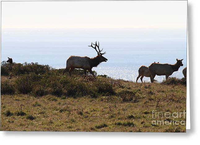 Tules Elks of Tomales Bay California - 7D21230 Greeting Card by Wingsdomain Art and Photography