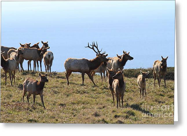 Tule Elks Greeting Cards - Tules Elks of Tomales Bay California - 7D21236 Greeting Card by Wingsdomain Art and Photography