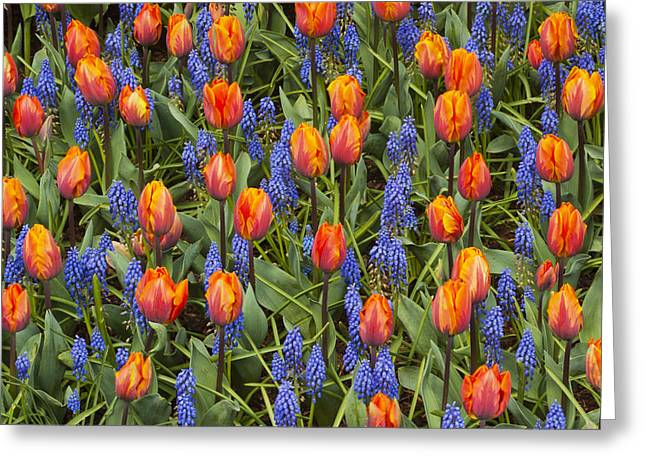 Tulip And Grape Hyacinth Greeting Card by Kevin Schafer
