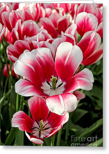 White Tulip Greeting Cards - Tulip Annemarie Greeting Card by Jasna Buncic
