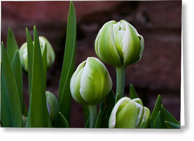 Cheekwood Greeting Cards - Tulip Buds Greeting Card by Paula Ponath