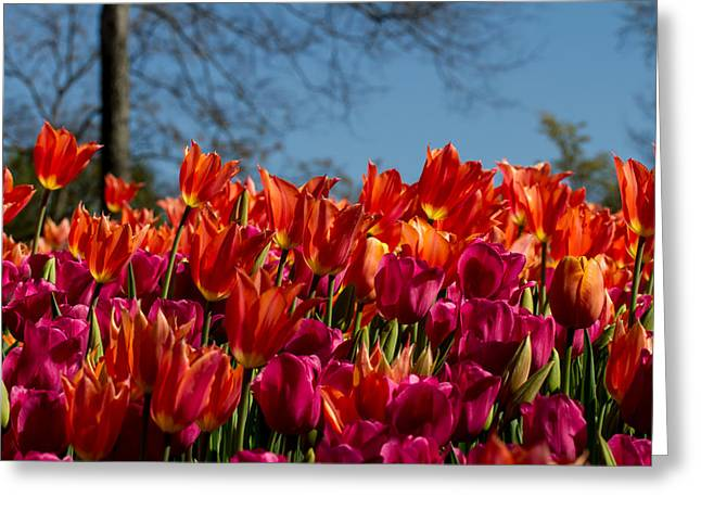 Cheekwood Gardens Greeting Cards - Tulip Chatter Greeting Card by Paula Ponath