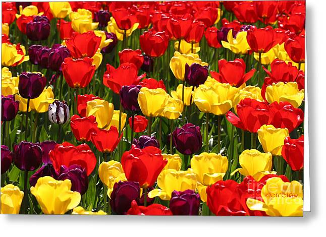 Gma Greeting Cards - Tulip Colors Greeting Card by Tap On Photo