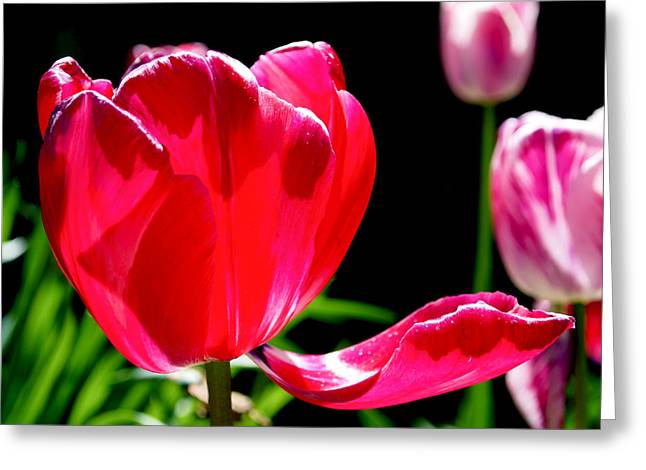 Blooming Greeting Cards - Tulip Extended Greeting Card by Rona Black