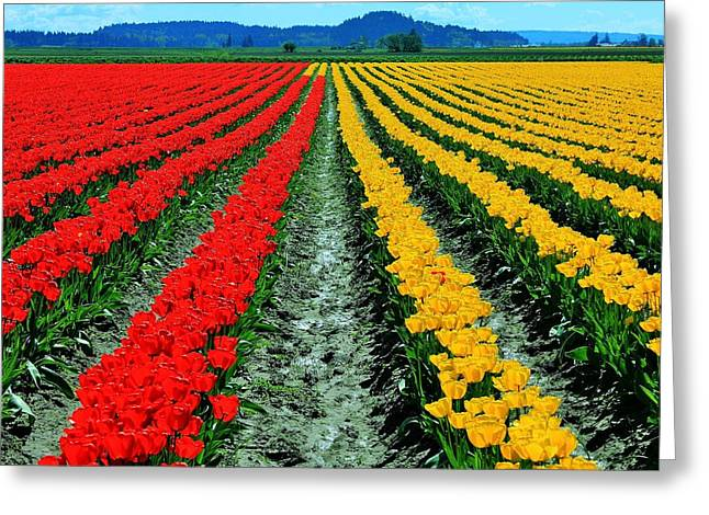Biological Greeting Cards - Tulip Farm Greeting Card by Benjamin Yeager