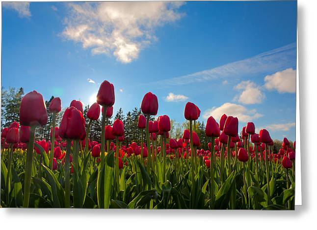 Sun Spots Greeting Cards - Tulip Field Against Blue Sky Greeting Card by Matt Dobson