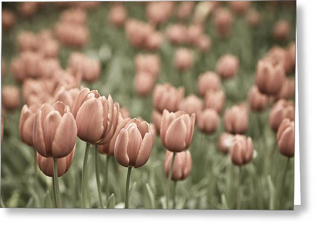 Garden Images Greeting Cards - Tulip Field Greeting Card by Frank Tschakert