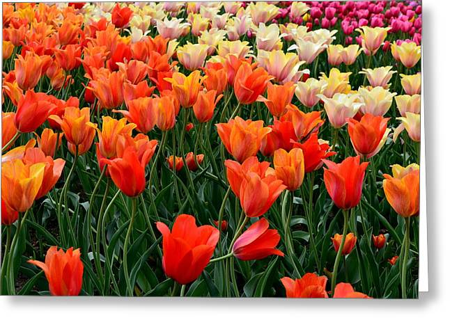 Photograph Greeting Cards - Tulip Field in Holland Greeting Card by Michelle Calkins