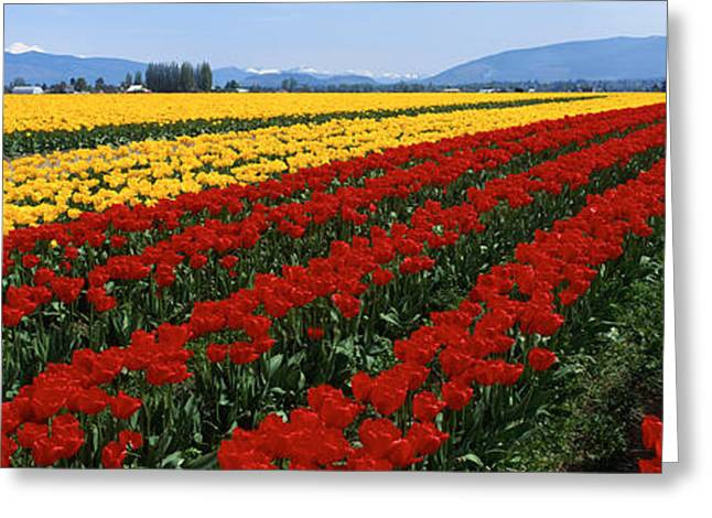 Cultivation Greeting Cards - Tulip Field, Mount Vernon, Washington Greeting Card by Panoramic Images