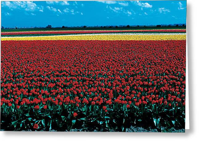 Colorful Photography Greeting Cards - Tulip Field Near Spalding Lincolnshire Greeting Card by Panoramic Images