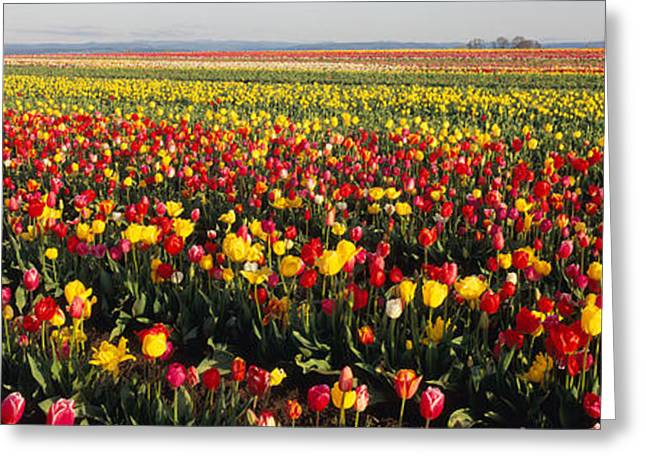 Colorful Photography Greeting Cards - Tulip Field, Willamette Valley, Oregon Greeting Card by Panoramic Images