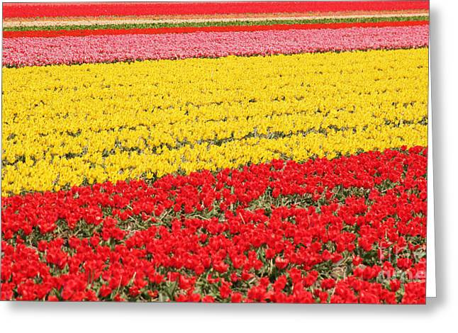 Colorful Blooms Greeting Cards - Tulip fields 1 Greeting Card by Jasna Buncic