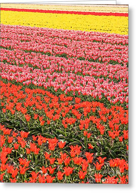 Colorful Blooms Greeting Cards - Tulip fields 2 Greeting Card by Jasna Buncic