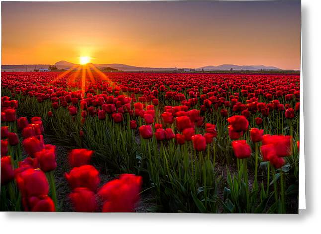 Warmth Greeting Cards - Tulip Fields Greeting Card by Alexis Birkill