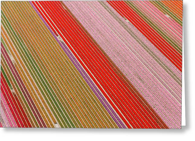 Tulip Fields, North Holland, Netherlands Greeting Card by Peter Adams