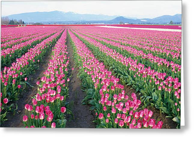Colorful Photography Greeting Cards - Tulip Fields, Skagit County, Washington Greeting Card by Panoramic Images