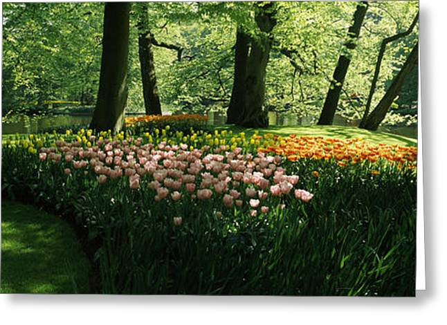 Keukenhof Gardens Greeting Cards - Tulip Flowers And Trees In Keukenhof Greeting Card by Panoramic Images
