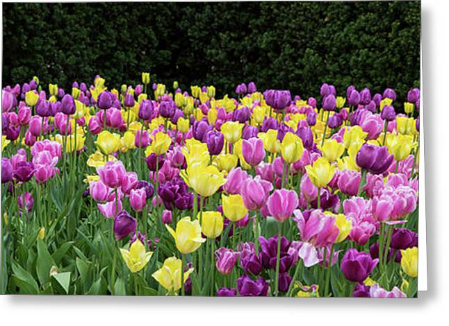 Tulip Flowers In A Garden, Chicago Greeting Card by Panoramic Images