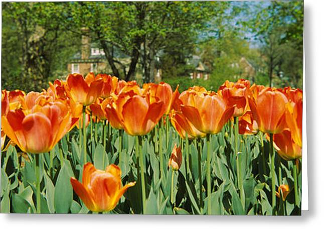 Garden Scene Greeting Cards - Tulip Flowers In A Garden, Sherwood Greeting Card by Panoramic Images