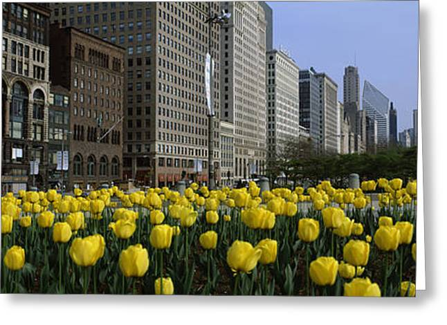 Locations Greeting Cards - Tulip Flowers In A Park With Buildings Greeting Card by Panoramic Images