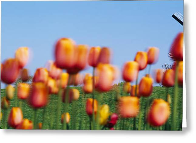 Environmental Conservation Greeting Cards - Tulip Flowers With A Windmill In The Greeting Card by Panoramic Images