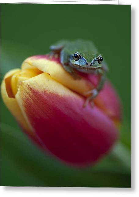 Pacific Tree Frog Greeting Cards - Tulip Frog Greeting Card by Summer Kozisek