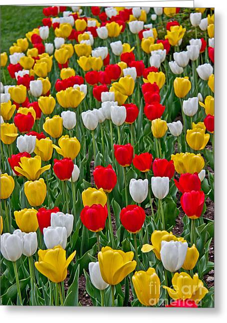 Green Day Greeting Cards - Tulip Garden Greeting Card by Tom Gari Gallery-Three-Photography