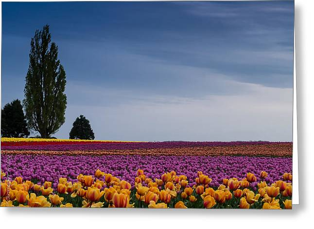 Christopher Fridley Greeting Cards - Tulip Hill Greeting Card by Christopher Fridley